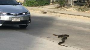 มาแล้วเลขเด็ด!! ลุงใจดีโบกรถให้เหลือมยาว 4 เมตรเลื้อยข้ามถนนสุดท้ายกลับพุ่งตรงเข้ารถชาวบ้าน