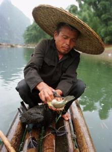 จับปลาด้วยนก วิถีชาวประมงโบราณ ในมณฑลเจ้อเจียง ประเทศจีน (สำนักข่าวเอพี)