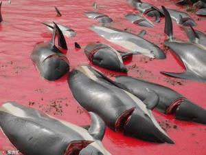 ประเพณีล่าวาฬ-โลมา ที่หมู่เกาะแฟโรจนน้ำทะเลเป็นสีเลือด (ภาพ จากอินเตอร์เน็ต)