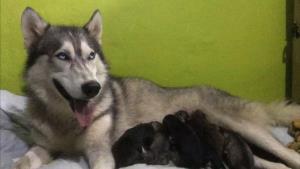 โหดไปมั้ย! ฆ่าทุบหัวควักตาสุนัขไซบีเรียน 2 แม่ลูก โร่พึ่งวอชด็อกฯ เร่งขุดซากตรวจหาคนร้าย