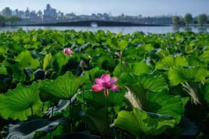 (ชมภาพ) ดอกบัวบานรับฤดูร้อนที่ทะเลสาบซีหู เมืองหังโจว