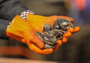 """(ชมภาพ) เมืองจีนงัดหมัดเด็ด พาหอยเป๋าฮื้อกว่า 50 ล้านตัว """"กลับบ้าน"""""""