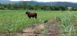 ระทึก! วัวยักษ์พยศหลุดจากคอก หนุ่มถูกขวิดแกล้งตายหลอกวัว 2 ชั่วโมงรอดหวุดหวิด