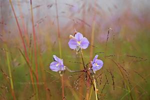 ดอกหงอนนาคคือนางเอกของอุทยานแห่งชาติภูสอยดาว