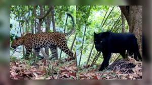 """อุทยานฯ อวดโฉม """"เสือดาว-เสือดำ"""" แห่งคลองลาน ชาวเน็ตแห่อวยพรขอให้ปลอดภัยอยู่คู่ผืนป่าไทยไปนานๆ (ชมคลิป)"""