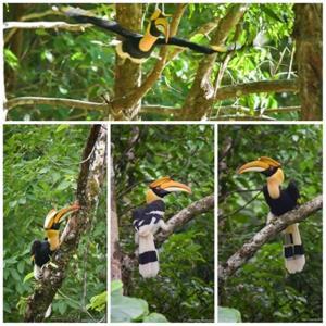 นกเงือก (นกกก) บอกอะไร! โฉบมาเยี่ยม เขตรักษาพันธุ์สัตว์ป่าคลองนาคา