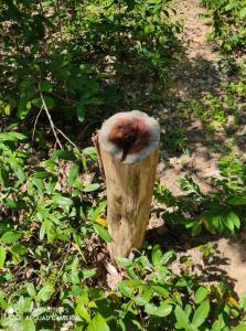 อึ้ง! ไม้มีค่าป่าชุมชนสถาบันวิจัยวลัยรุกขเวช มมส.ถูกลอบตัด3,200ต้น แต่จนป่านยังไม่แจ้งความ