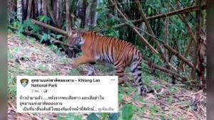 """อุทยานฯ เชื่อป่ายังอุดมสมบูรณ์ หลังกล้องดักถ่ายอัตโนมัติจับภาพ """"เสือโคร่ง"""" ได้ (ชมคลิป)"""