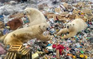 ภาพฝูงหมีขาวหากินจากกองขยะเมื่อปี 2018 (Alexander GRIR / AFP)