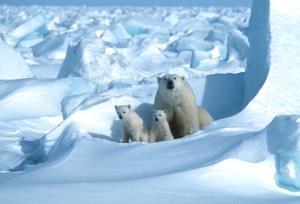 แม่หมีขาวและลูกหมี (Steven C. AMSTRUP / POLAR BEARS INTERNATIONAL / AFP)