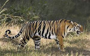 ป่าไทยไม่ไร้เสือ! ที่นี่คือ..บ้านอีกแห่งในโลกของเสือโคร่ง