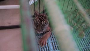 ขุดปัญหาสัตว์ป่าในธุรกิจท่องเที่ยว และการเดินหน้ายุติผสมพันธุ์เสือในกรงเลี้ยง กับ 'องค์กรพิทักษ์สัตว์แห่งโลก'