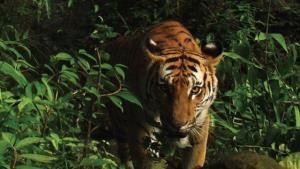นักล่าฉายเดี่ยว! วิถีจ้าวป่าที่อาจสูญพันธุ์เพราะคนล่า ทำลายป่า