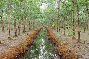 อธิบดี ทช. พร้อม ผวจ.ตราด เดินหน้าลุยตรวจยึดสวนป่ากระถินเทพา และสวนยางพาราจากนายทุนรายใหญ่ในพื้นที่ จ.ตราด กว่า 111 ไร่