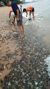 หนุ่มเผยภาพ หอยแมลงภู่ลอยเกลื่อนริมชายหาดจอมเทียน ประชาชนแห่เก็บจนเกือบหมด