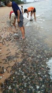 ฮือฮาปรากฏการณ์ประหลาด! หอยแมลงภู่นับล้านตัวถูกคลื่นซัดเกยหาดจอมเทียน พัทยา