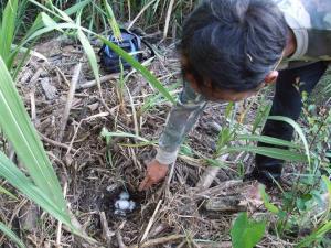 จนท.อุทยานฯ พบจุดวางไข่จระเข้น้ำจืดพันธุ์ไทย
