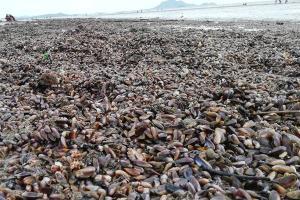 """ฤทธิ์พายุ """"ซินลากู"""" ทำคลื่นลมแรงหอบหอยพงเกยหาดที่ จ.กระบี่"""