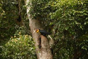 """สิ้นฤดูกาลทำรังนกเงือก! พบ """"นกชนหิน"""" เข้าโพรงรังในผืนป่าบูโด"""