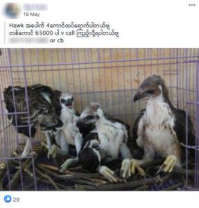 โฆษณาขายสัตว์ป่าจากพม่าโผล่โซเชียลมีเดียอื้อ เฟซบุ๊กรับลูกกลุ่มอนุรักษ์ไล่ลบโพสต์ผิดกฎหมาย