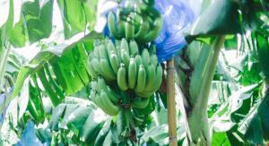 แม็คโคร จับมือ กรมส่งเสริมการเกษตร ยกระดับคุณภาพกล้วยหอมทองแปลงใหญ่โคราช ปั้นกลุ่มเกษตรกรได้มาตรฐาน GAP