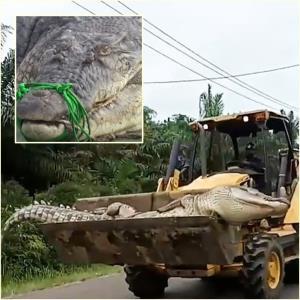"""In Clip: สุดฮือฮา! ชมภาพอินโดนีเซียจับ """"จระเข้ปิศาจยาว 4 เมตรครึ่ง"""" หนักครึ่งตันบนรถตักดิน หลังติดตาข่ายติดใบมีดโกน"""
