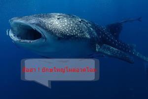 นักดำน้ำฮือฮา! ฉลามวาฬโผล่เล่นน้ำบริเวณหินไบเกาะพะงัน