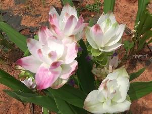 """เปิดศูนย์ขยายพันธุ์พืชที่ 2 ตรัง ให้เที่ยวชม """"ทุ่งดอกปทุมมา"""" อันสวยงามใน"""