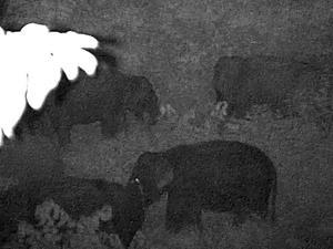 เด็กดื้อ! ลูกช้างป่าห้วยขาแข้ง ไม่ยอมตามโขลงแม่ที่แห่กันมารับ