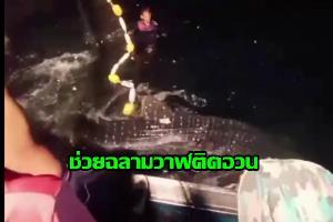 ชื่นชม! ไต้ก๋งเรือโชคภาพิมล ช่วยชีวิตฉลามวาฬติดอวนคืนสู่ทะเล
