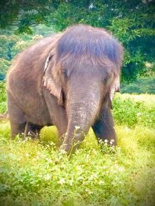 """ตามส่อง """"ยายบุญมา"""" ช้างแม่แปรก-ไทยแมมมอธ อดีตช้างลากซุงที่กลายเป็นเซเลบดังชั่วข้ามคืน"""