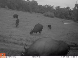 ฝูงวัวแดงมาใช้บริการทุ่งหญ้า