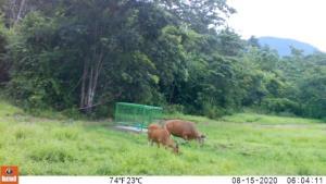 กล้องดักถ่าย พบฝูงวัวแดง กวาง และช้างป่า ลงมาใช้บริการแปลงหญ้าที่ อช.จัดระบบคุ้มครองสัตว์ป่า ในเขตรักษาพันธุ์สัตว์ป่าเขาอ่างฤาไน