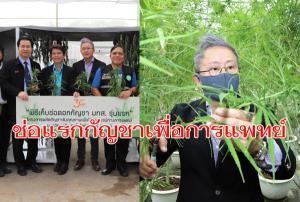 ช่อแรก! มทส.เก็บผลผลิตช่อดอกกัญชารุ่นแรก 100 กก. มอบ รพ.คูเมืองผลิตยาไทย 9 ตำรับ