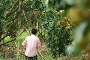 จ่อล้มละลาย! ชาวสวนลำไยจันทบุรี ผลผลิตใกล้ออกเต็มทีแต่ยังไม่มีแรงงานช่วยเก็บ