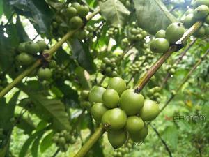 """ปลุกตำนาน """"กาแฟโบราณ"""" อายุ 200 ปี อ.ละงู ลุยโค่นสวนยางปลูกกาแฟพันธุ์โรบัสต้า"""