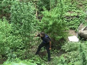 ตำรวจเกาะพะงัน ตรวจยึดต้นกัญชากลางสวนมีคนแอบปลูกเป็นไร่