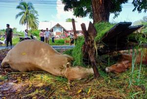 เจ้าของสุดเศร้า! ผูกวัวเลี้ยงไว้ใต้ต้นสะเดา ฟ้าผ่าเปรี้ยงตายเกลี้ยง 4 ตัว รวมลูกน้อยในท้อง