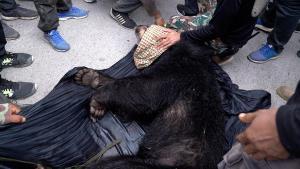 หลังใช้ความพยายามมากว่า 10 วัน ล่าสุดวันนี้ เจ้าหน้าที่สามารถจับหมีควายได้แล้ว