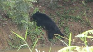 """จับได้ซะที! 10 วันไล่ล่า """"หมีควาย"""" ที่ขอนแก่น ถูกยิงยาสลบสิ้นฤทธิ์ เตรียมหารือสถานที่ปล่อยตัว"""