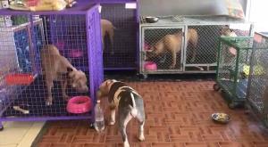 สุดโชคดีคนรักหมาใจบุญเสนอให้บ้านเลี้ยง 6 พิตบูล สัตวแพทย์เผยนางหงษ์เจ้าของหมา อาการดีขึ้นเตรียมออก รพ.สิ้นเดือน