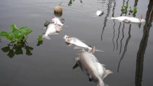 แล้งกลางฝน! น้ำสะแกกรังเน่า-นิ่งสนิท จนปลาวังมัจฉาวัดท่าซุงน็อกน้ำตายเป็นเบือ