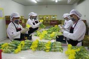 """""""กล้วยหอมทองบ้านโคก"""" ต้นแบบเกษตรแปลงใหญ่ ตลาดนำการผลิต ส่งออกญี่ปุ่น/ส่งขาย 7-11 อีสานบน"""