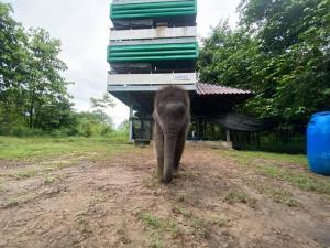 ลูกช้างป่าห้วยขาแข้ง ไม่สะท้าน! เจอน้ำป่าทะลักคอก!! อธิบดีกรมอุทยานฯ ขออีกยกคืนโขลงแม่ แต่เล็งแม่เลี้ยงไว้รอแล้ว