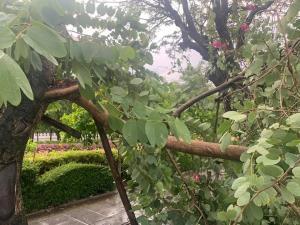 """ต้นชงโคทำเนียบเก่าแก่ 50 ปี โดนพายุถล่มหักโค่น วิจารณ์โยง """"อาคม"""" ลางไม่ดี"""