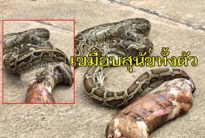 ผงะ! ชาวบ้านเมืองช้างเจองูหลามยักษ์ แจ้งกู้ภัยช่วยจับขย้อนเหยื่อออกมาเป็นสุนัขทั้งตัว