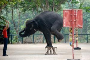 เผยช้างไทยในภาคท่องเที่ยว 70% มีความเป็นอยู่ย่ำแย่ วอนคนไทยเที่ยวเฉพาะปางช้างสวัสดิภาพดี