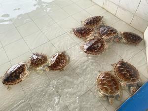 เต่าตนุในบ่ออนุบาลเต่า