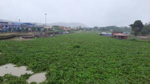 อุทัยธานีอ่วมด้วย! ฝนตกหลายวันติด-น้ำเหนือบ่า พัดผักตบเข้าเต็มลำน้ำสะแกกรังจนเดินเรือไม่ได้