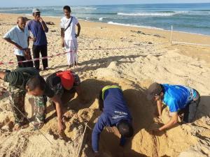 มาแล้ว! เต่ามะเฟืองวางไข่แรกแห่งฤดู ที่หาดบางขวัญ จ.พังงา